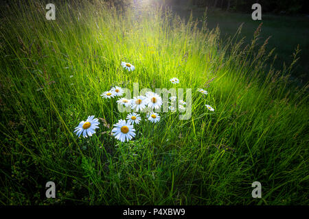 Sunbeam Illuminating A Bunch Of Wild Flowers Daisies In Field At Sunset - Stock Image