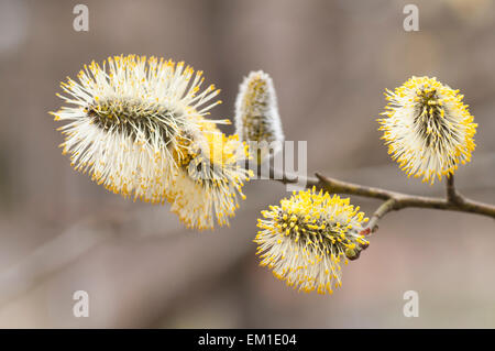 Blooming pussy willows on a tree branch. - Stock Image