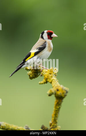 Goldfinch, European, Latin name Carduelis carduelis perched on a lichen covered twig against a green background - Stock Image