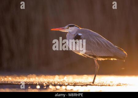 Grey Heron (Ardea Cinera) standing in shallow marsh water in golden light - Stock Image