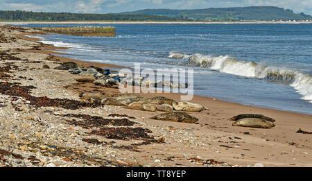 PORTGORDON BEACH MORAY SCOTLAND COMMON SEALS HAULED UP ON THE SAND WITH WAVES CRASHING ONTO THE BEACH - Stock Image