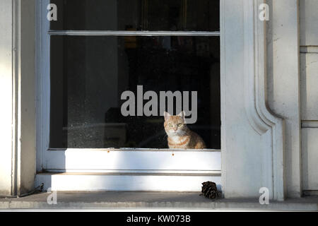 A ginger cat sits looking out of the large window of a Victorian House on a street in the UK. the cat is looking - Stock Image