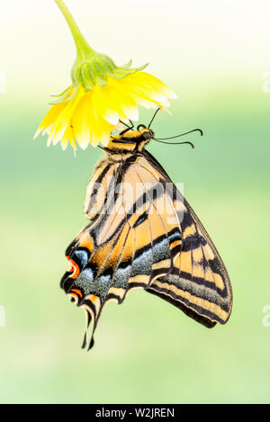 A Western Tiger Swallowtail (Papilio rutulus) hanging from a yellow flower - side view - on a soft green  background - Stock Image