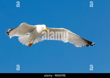 Wild bird is looking for food. The flight of a lonely seagull or a group of seagulls can be easily observed in the sky above the Baltic Sea coast in K - Stock Image