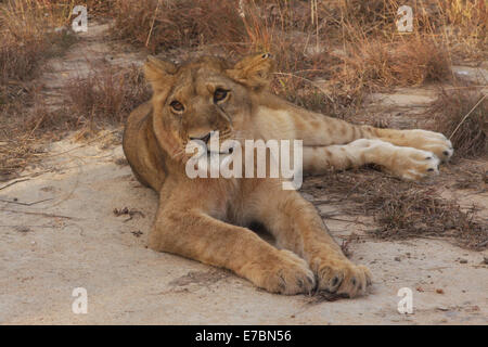 Lion Panthera leo.  Young lion resting on a rock - Stock Image