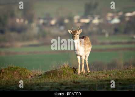 Fallow Deer, Berkeley Deer Park, Gloucestershire. - Stock Image