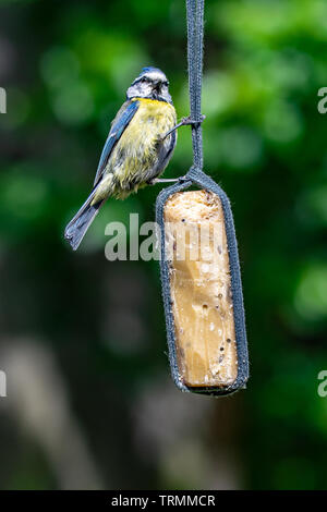 Garden suet bird feeder with a perched bluetit (Cyanistes caeruleus) - Stock Image