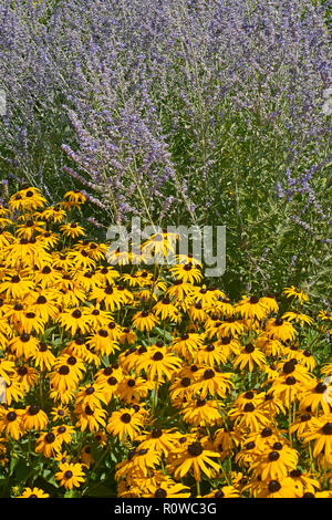 Flower border with Rudbeckia hirta Black Eyed Susan and Perovskia in a cottage garden - Stock Image