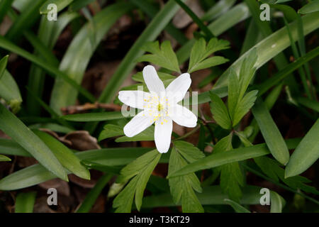 Single Wood Anemone flower, anemone nemorosa - Stock Image