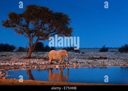 Elephant, Africa - Stock Image