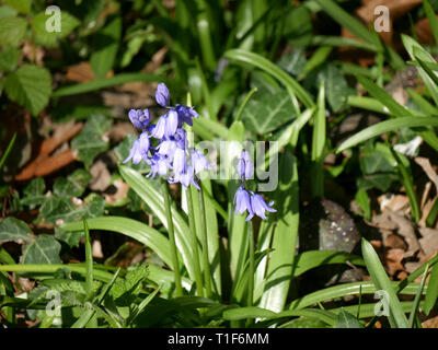 Bluebells - Hyacinthoides non-scripta in a wood - Stock Image