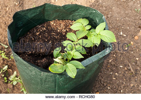 Potato plant growing in a grow bag or container - Stock Image