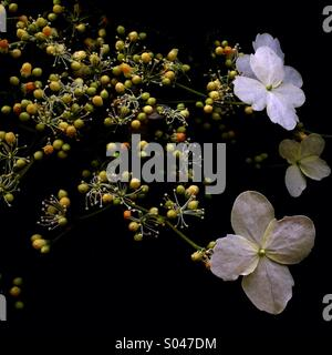 Climbing Hydrangea - Stock Image