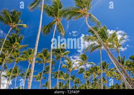 Palm trees against bright blue skies. - Stock Image
