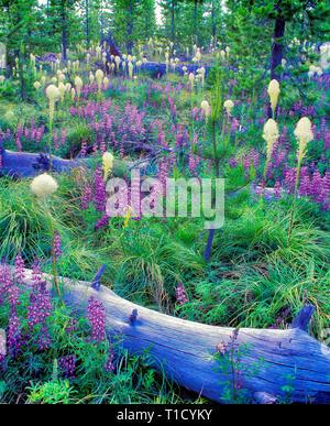 V00143M.tiff   Lupines Bear Grass, and fallen logs. Santiam Pass, Oregon - Stock Image