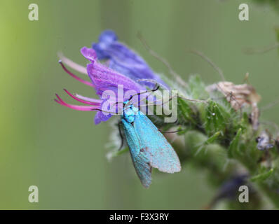 Foresger moth Feeding on Vipers bugloss Hungary June 2015 - Stock Image