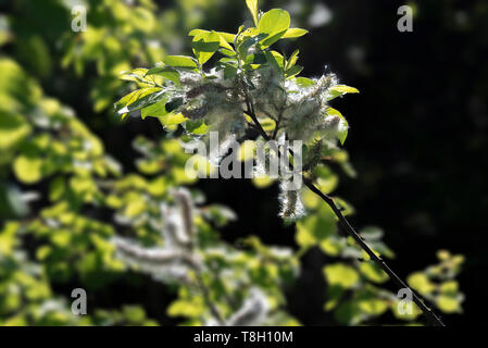 Willow pussy willow seeds on the branch. - Stock Image