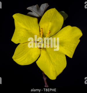Top (above view) of a yellow California Glory flower, Fremontodendron, against black background. - Stock Image