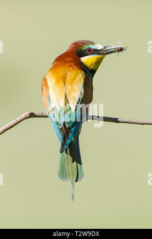 Male European bee-eaters, Latin name Merops apiaster,  perched on a branch with an insect in its beak - Stock Image