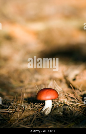 PICTURE CREDIT DOUG BLANE wild mushroom in Blickhill Woods Bedfordshire City of Milton Keynes - Stock Image