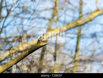 Male Chaffinch (Fringilla coelebs) perched on rotting branch, Bodenham Herefordshire England UK. March 2019. - Stock Image