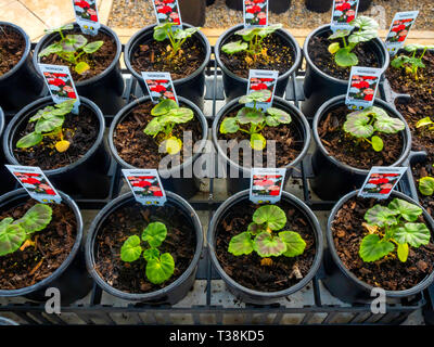 Plant nursery display of young flower plants in a greenhouse in early spring Geraniums for later sale as bedding plants for planting. - Stock Image