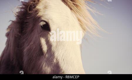 Close up portrait of white horse. Vintage matte effect - Stock Image