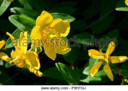 Johanniskraut, or St. John's Wort, an herbal alternative anti-depressant. - Stock Image