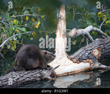 Beaver feeding on fallen balsam poplar tree - Stock Image