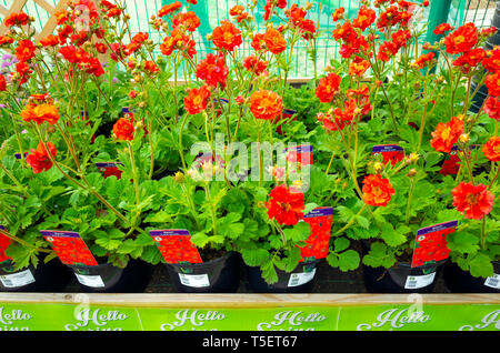 Garden centre display of young flower plants in early spring,  Geum Scarlet Tempest for sale as bedding plants for planting. - Stock Image