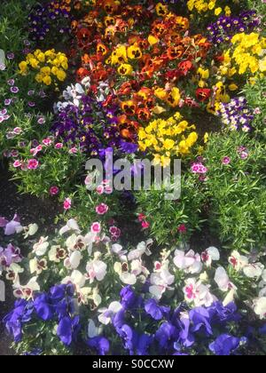 Fresh Spring garden with colorful pansies, violets and violas. - Stock Image