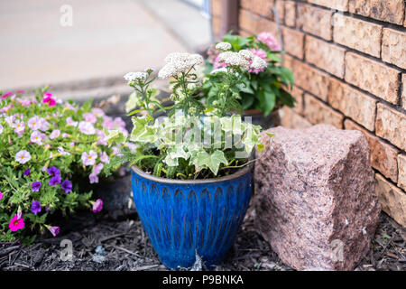 Common yarrow, Achillea millefolium, a herbaceous perennial, growing in a ceramic flower pot. - Stock Image