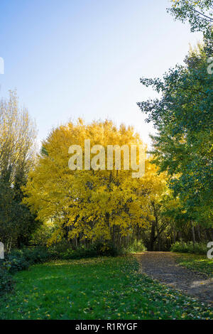 Golden yellow leaves on trees in spinny in autumn Milton park Cambridge UK 10/11/2018 - Stock Image