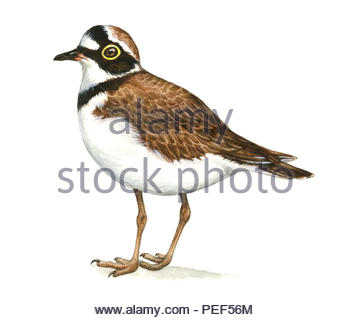 little ringed plover charadrius dubius - Stock Image
