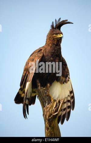 Long-crested Eagle (Lophaetus occipitalis), Lake Nakuru National Park, Kenya, Africa - Stock Image