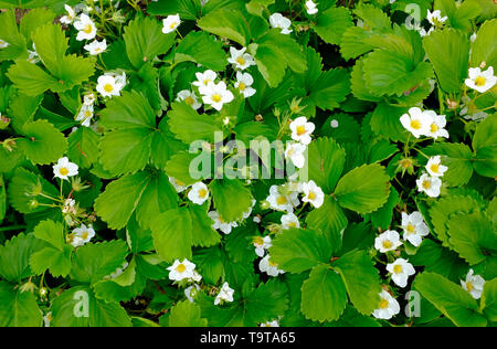 flowering strawberry plants in allotment garden, norfolk, england - Stock Image