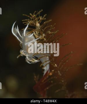 Dendronotus albus - Stock Image