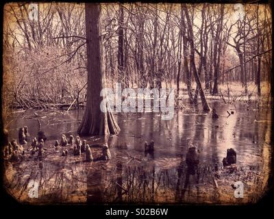 Bald cypress swamp - Stock Image