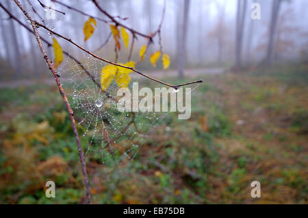Water drops on spider web. - Stock Image