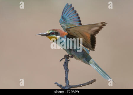 European Bee-eater in flight - Stock Image