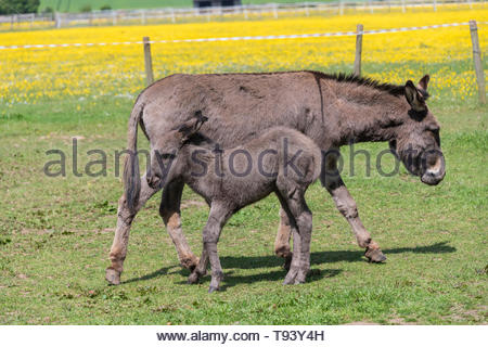 Donkey with foal suckling Equus asinus - Stock Image