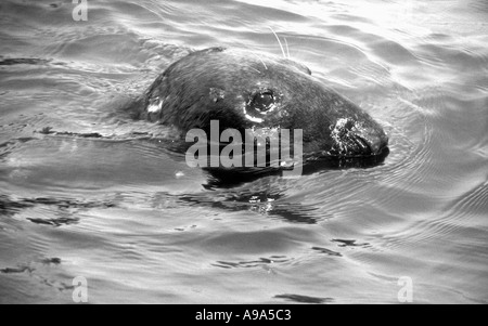 Head of a seal in the Irish Sea off Peel, Isle of Man - Stock Image