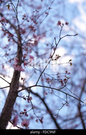 Misty Sakura background. - Stock Image