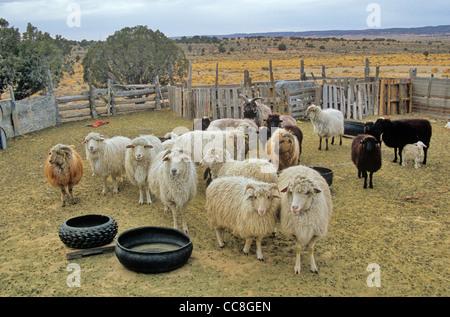 Flock of Navajo Churro sheep in corral at Navajo community of Hardrock, Navajo Nation, Arizona, USA - Stock Image