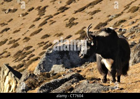yak in Sagarmatha National Park in Nepal - Stock Image