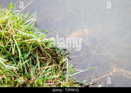 A pair of mating Common Toads (Bufo bufo) under the surface of a pond visible through the water - Stock Image
