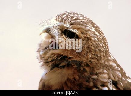 Screeching New World Burrowing owl (Athene cunicularia) in close-up - Stock Image