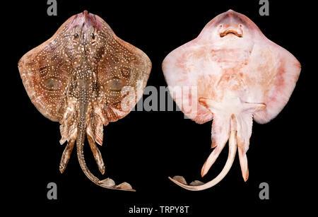 Thornback ray, Raja clavata, dorsal & ventral views, black background - Stock Image