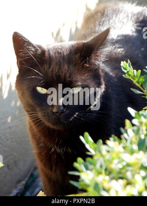 Portrait of a black cat on the prowl in the garden - Stock Image