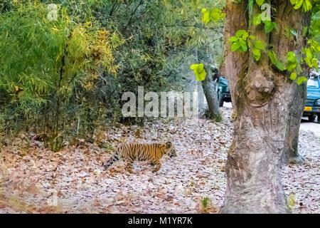 Little two month old wild Bengal Tiger Cub, Panthera tigris tigris, walking towards a road with vehicles, Bandhavgarh - Stock Image